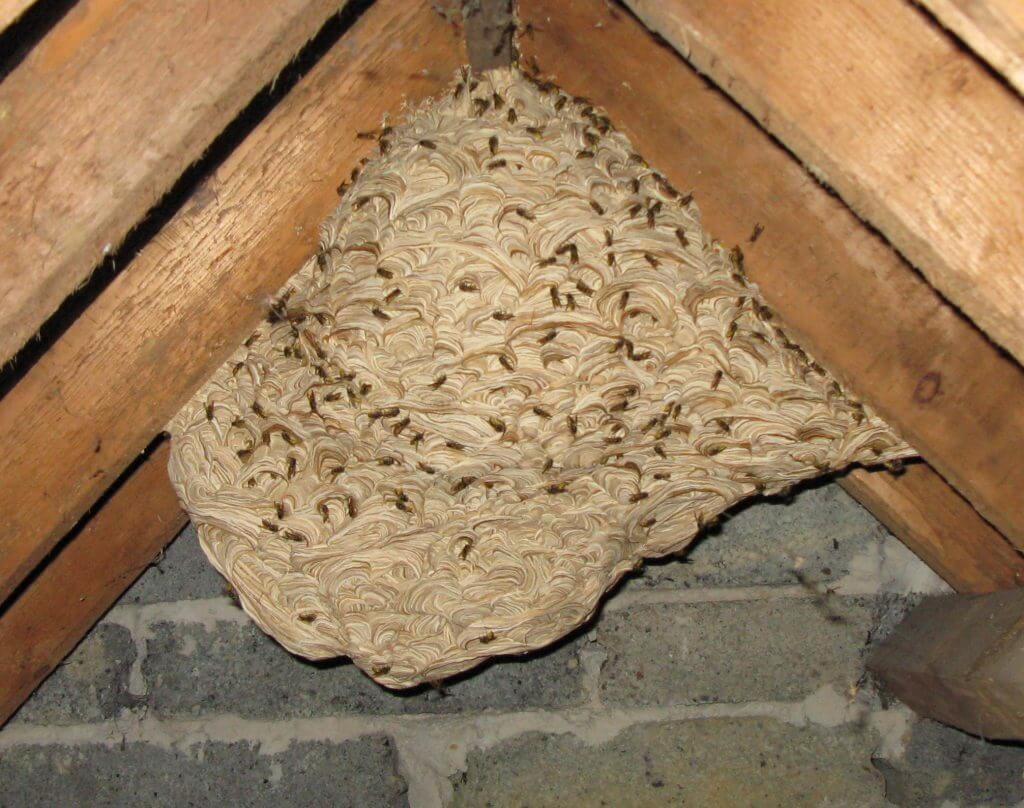 hvepsebo på loft i kippen.